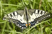 Swallowtail posed in the grass - Monts du Cantal Auvergne