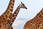 Portrait of Reticulated giraffe males - Masai Mara Kenya