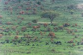 Wildebeests and zebras grazing on short grass after fire