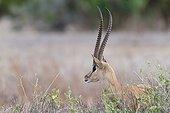 Portrait of Grant's gazelle male - East Tsavo Kenya