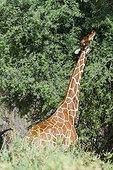 Reticulated giraffe eating leaves - Samburu Kenya