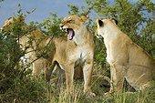 Lioness pride in the savannah - Masai Mara Kenya