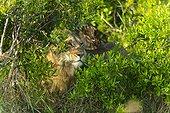 Portrait of male lion in the bushes - Masai Mara Kenya