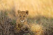 Lion cub lying in savannah at dawn - Masai Mara Kenya