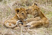 Lion cubs playing in savannah - Masai Mara Kenya