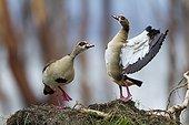 Egyptian Goose in display - Nakuru Kenya