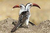 Red-billed Hornbills eating termites - Samburu Kenya