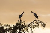East African Crowned Crane at sunrise - Masai Mara Kenya