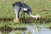 East African Crowned Crane eating - Masai Mara Kenya