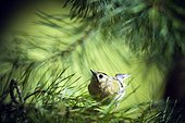 Goldcrest on a branch of conifer - Alsace France