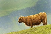 Cow Highland - Scotland