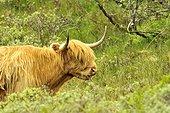 Portrait of Cow Highland - Scotland