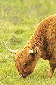 Portrait of Cow Highland grazing - Scotland