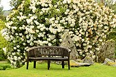 Bench in front of a flowering tree - Crarae Garden Scotland ; exotic Himalayan-style woodland garden