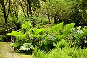 Giant Rhubarb - Garden Crarae Scotland ; exotic Himalayan-style woodland garden