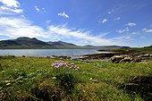 Gazon d'Espagne en fleurs - Loch na Keal Ile de Mull Ecosse