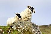 Sheep Scottish Blackface and lamb - Scotland