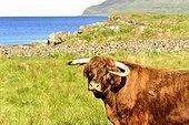 Portrait of Bull Highland in the moor - Scotland