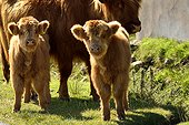 Calves Highland - Scotland