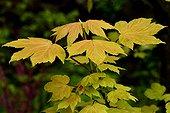 Young Maple leaves 'Brillantissimum' - France