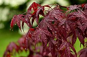 Japanese Maple leaves - France