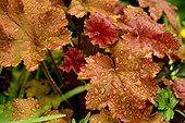 Foliage of Heuchera 'Caramel' in the rain - France