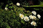 Tree Peony 'Blanche du Bollwerk' - Garden Cottons France