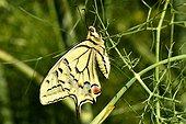 Swallowtail on Fennel - France