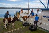 Boarding calves - Quemchi Chiloe Island Chile