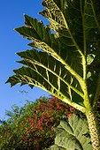 Gunnera leaf - Cucao Chiloe Island Chile