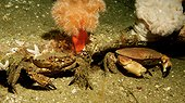 Velvet Swimming Crab and Edible Crab - Orkney Scotland ; Scapa Flow wreck