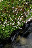 Starry saxifrage in bloom in Catalonia - Spain