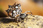 Thelacanta brevispina spider spinning its web - Indonesia