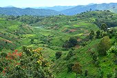 Colline cultivée - Parc national de Bwindi Ouganda ; La forêt, qui abrite plus de la moitié de la population mondiale de gorilles de montagne, est menacée par l'agriculture et le déboisement