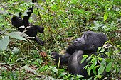 Mountain gorilla and young in undergrowth - Bwindi Uganda ; The impenetrable forest, world heritage site by the UNESCO, is home for 360 mountain gorillas, more than half of the total population