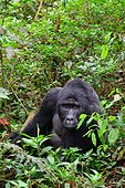 Mountain gorilla male in undergrowth - Bwindi Uganda ; The impenetrable forest, world heritage site by the UNESCO, is home for 360 mountain gorillas, more than half of the total population