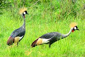 Crowned cranes in marsh - Uganda