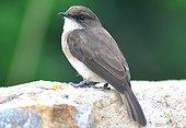 Gray flycatcher on a wall - Uganda