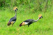 Crowned cranes in a marsh - Nburu Uganda