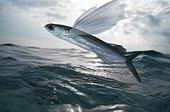 Black wing flyingfish. Composite image