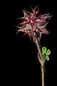 Starry clover in fruit in Catalonia - Spain