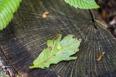 Gall on oak leaf in a garden