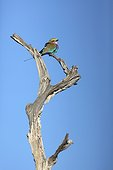 Lilac-breasted Roller on a dead tree - Botswana