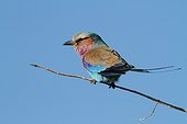 Lilac-breasted Roller on a branch - Botswana