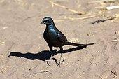 Burchell's Glossy-starling on ground - Botswana