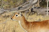 Cobe lechwe dans la savane - Botswana