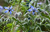 Common borage in bloom in a garden