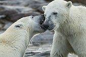 Polar Bears Sparring - Hudson Bay Canada