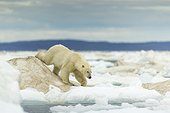 Polar Bear on Pack Ice  - Hudson Bay Canada