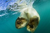 Swimming Polar Bear - Hudson Bay Canada